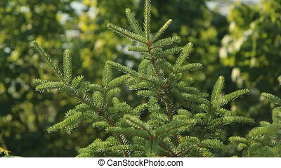 Sunlit spruce. - Norway spruce in sunlight. Shallow depth of...
