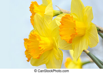 Sunlit yellow daffodils - Bright yellow flowers happily...