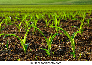 Sunlit young corn plants - Rows of sunlit young corn plants...