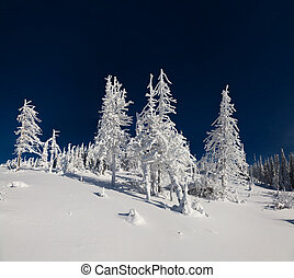 Sunne vinter scene in the mountain forest. Fir trees in the...