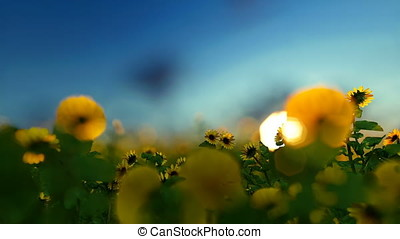 Sunnflower plantation against blue sky