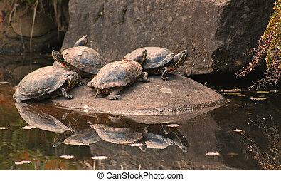 sunning, schildpadden, rots