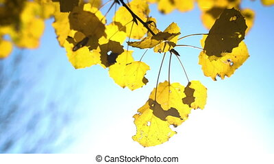 Sunny autumn aspen leaves over blue sky