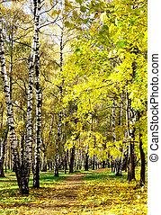 Sunny autumn birch grove in october