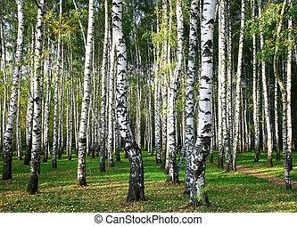 Sunny autumn birch grove
