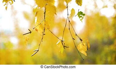 Sunny autumn birch leaves over blue sky