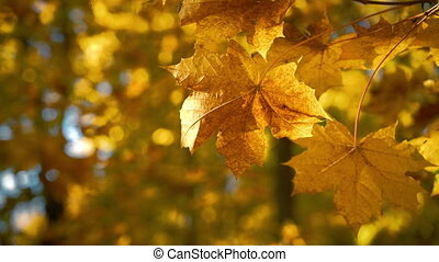 Sunny autumn maple leaves moving in wind