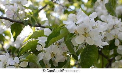 sunny day an apple tree in flowers