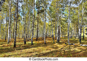 Birch forest in daylight. Paints of early autumn on the grass and leaves.