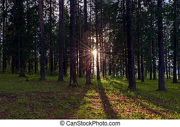 Sunny day in the autumn forest. The warm autumn sun illuminates the trunks of fir trees in a colorful autumn forest.