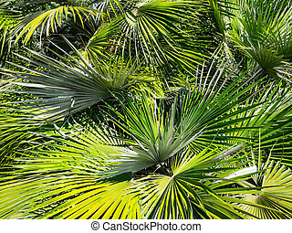 Sunny day in the warm South. The sun's rays make their way through the leaves of the palm tree. Palm leaves close-up. Tropical abstract background.