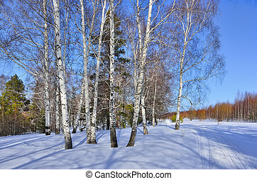 Sunny early spring day in the birches and pines forest.