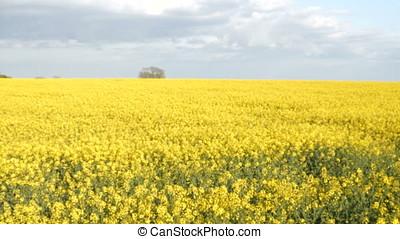 Sunny Farmland Blooming Rapeseed Canola Crops Spring Gimbal Shot 4K