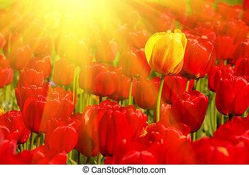 sunny field of tulips