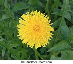 Sunny flower of dandelion on a blur background