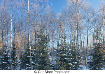 Sunny Forest in Winter - Natural forest view in Finland in...