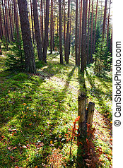 Sunny forest - Sunny morning in  boreal forest