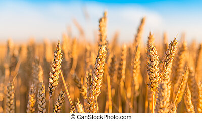 Sunny golden wheat field with blue sky in background