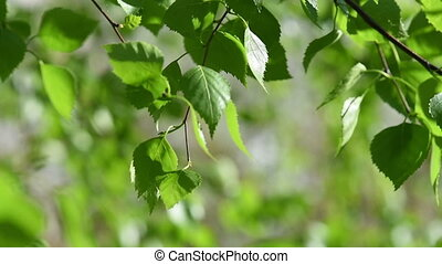 Sunny green leaves - Sunny young green spring leaves of...
