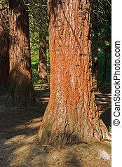sunny illuminated redwood stem