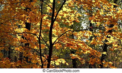 Sunny maple tree in autumn park shaking on wind