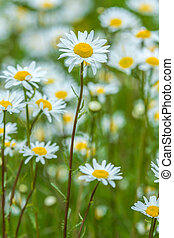 sunny meadow of daisy flowers - meadow full of Bellis...