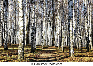 Sunny pathway in november autumn birch grove