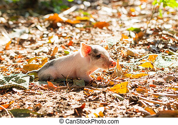Sunny piglet - Cute piglet in the morning sun in Madagascar