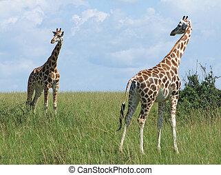 sunny scenery with Giraffes in Uganda - wide grassland...