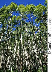 sunny spring aspen grove