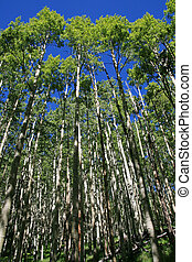 vertical image looking up towards the top of an aspen grove in the spring with fresh green leaves