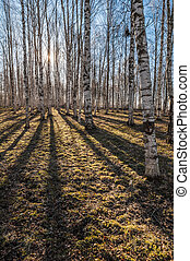 Sunny spring morning in birch forest