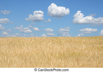 sunny summer morning on the wheat field