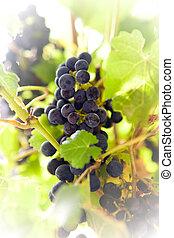 Sunny Vineyard 3