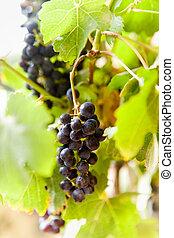Sunny Vineyard 5