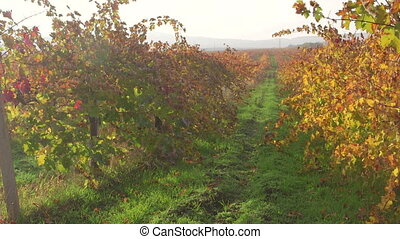Sunny vineyard in light haze of an autumn day near Inkerman