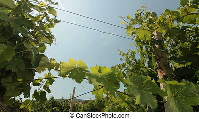 Sunny Vineyard - Vineyard with blue sky and sun. Pan shot