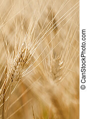 Sunny Wheat - Close-up from golden wheat