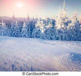 Sunny winter landscape in the mountain forest.