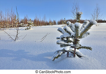Sunny winter landscape with little green Christmas trees with snow covered