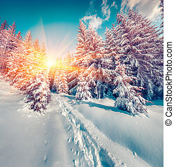Sunny winter sunrise in the mountain forest.