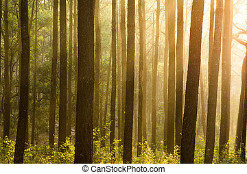 sunray thought pines forest