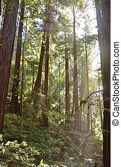 Sunrays and redwoods