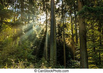 sunrays, durch, der, grüne bäume, von, der, wald