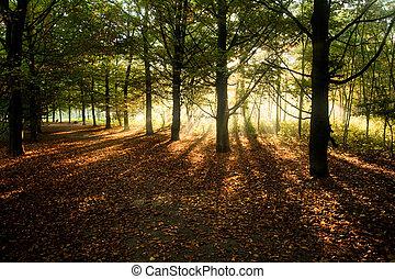 Sunrays through beech trees in autumn with fallen beech...