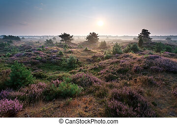 sunrise and flowering heather on dunes