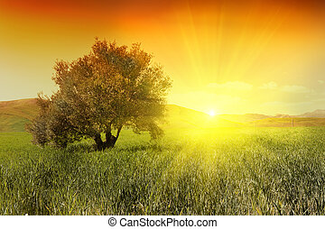 Olive tree in a green field during sunrise