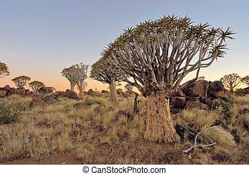 Sunrise at the Quiver Tree Forest, Namibia - Sunrise at the...