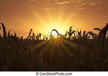 Sunrise at wheat field