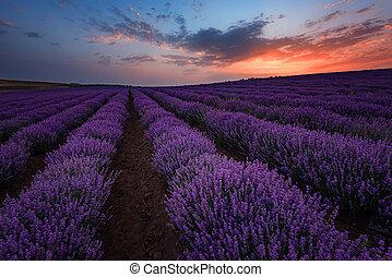 sunrise., contrapponendo, estate, alba, scuro, lavanda, drammatico, immagine, bello, nubi, field., fields., paesaggio, colors.